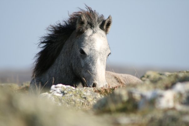 Greyed out colt foal wil on the Carneddau. He was a cheeky little muppet and I really liked him.